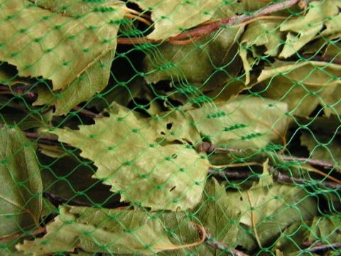 Обращайте внимание, чтобы на листочках березы не было вредителей: жуков, гусениц и тли.