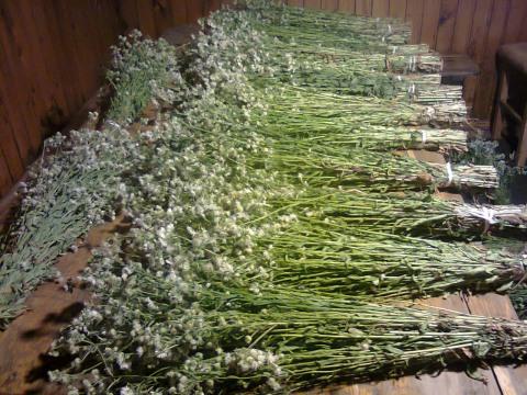 Сбор трав из мяты.